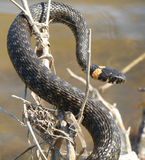 De slang op de tak Stock Foto's