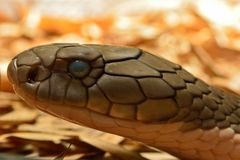 De slang Ophiophagus Hannah van de koningscobra royalty-vrije stock fotografie