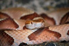 De slang van Copperhead Stock Afbeeldingen