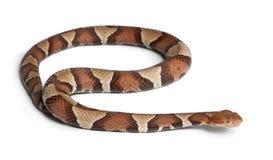 De slang van Copperhead of hooglandmocassin royalty-vrije stock afbeeldingen