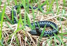 De slang van de adder. Stock Foto
