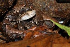 De slang van de baby fer DE lance in Costa Rica Stock Afbeelding