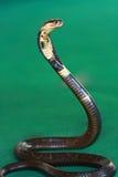 De Slang van de cobra Stock Foto