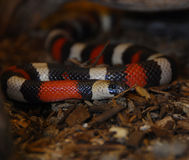De slang van de koning Stock Foto