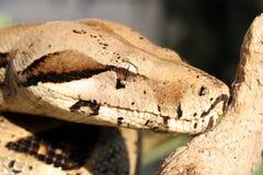 De slang van de python Stock Foto