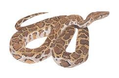 De slang van de python Royalty-vrije Stock Afbeelding