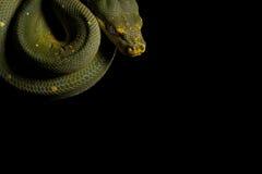 De slang van de python klaar te slaan Stock Foto