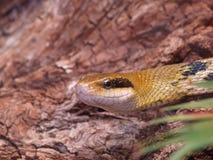 De slang van de rat (taeniura Elaphe) Stock Foto's