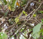 De Slang van de Usambarawijnstok in vegetatie wordt gecamoufleerd die stock fotografie