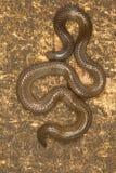 De slang van Elliot ` s shieldtail, Uropeltis-ellioti Westelijke Ghats van Kaas-plateau stock afbeelding