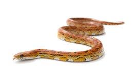 De slang van het graan   Royalty-vrije Stock Afbeeldingen