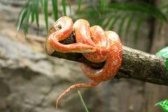 De slang van het graan Stock Foto's