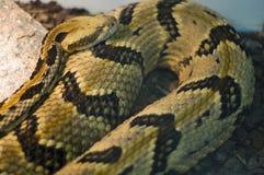 De slang van het vergift Stock Afbeeldingen