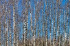 De slanke boomstammen van jonge berken tegen de blauwe hemel Royalty-vrije Stock Foto