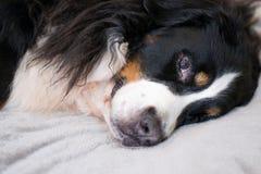 De slaperige Bernese-Berghond ligt op beige plucheplaid tijd voor slaap Comfortabel en mooi huis Familietijd het besteden stock foto