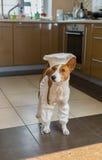 De slimme basenjihond is klaar om de hoofd-chef-kok te helpen Stock Foto's