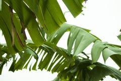 De slingering van banaanbomen in de wind stock afbeelding