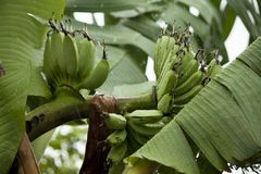 De slingering van banaanbomen in de wind royalty-vrije stock afbeeldingen