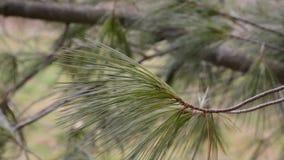 De slingering van de pijnboomtak in wind dichte omhooggaand stock videobeelden