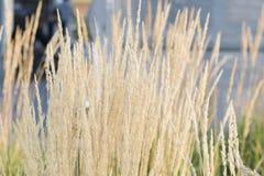 De slingering van graangewasseninstallaties in de wind Gouden oren stock foto's