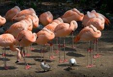 De sluimerpartij van de flamingo Stock Afbeeldingen