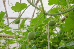 De små behandla som ett barn melon och blommor i trädgård Royaltyfri Foto