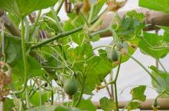 De små behandla som ett barn melon och blommor i trädgård Royaltyfri Fotografi