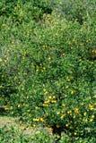 De smakelijke aanplanting van navelsinaasappelen met vele oranje citrusvruchten die op bomen, Agaete vallei, Gran Canaria, Spanje stock fotografie