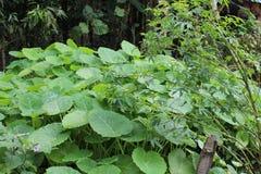 De smakliga växterna från manipur Arkivbild