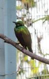 De smaragdgroene starling iris van vogellamprotornis Royalty-vrije Stock Afbeeldingen