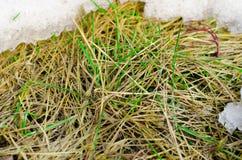 De smeltende sneeuw openbaart het dode gras op het gebied stock afbeeldingen