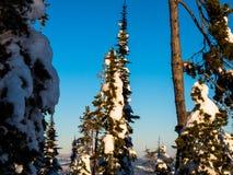 De snö flockades barrträden står högväxta mot den blåa himlen Arkivfoto