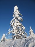 De sneeuw behandelde altijdgroene bomen Stock Afbeeldingen