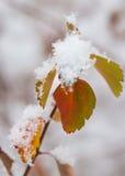 De sneeuw behandelde bladeren Stock Foto's