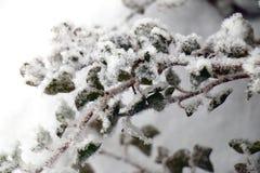 De sneeuw behandelde bladeren Stock Afbeeldingen