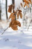 De sneeuw behandelde bladeren in de winter Stock Foto