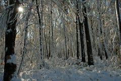 De sneeuw behandelde Bladeren op Bomen Stock Foto