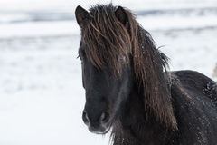 De sneeuw behandelde Ijslands Paard Stock Afbeeldingen