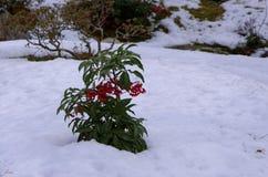 De sneeuw behandelde Japanse tuin, Kyoto Japan Stock Foto