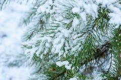 De sneeuw Behandelde Takken van de Pijnboomboom dicht omhoog Stock Foto's
