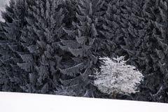 De sneeuw behandelde winters bos Stock Foto