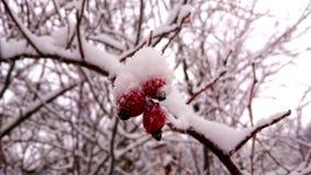 De sneeuw behandelt de struik Stock Afbeelding