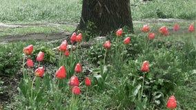 De sneeuw is de lente Natte sneeuwdalingen op de knoppen van rode tulpen stock footage