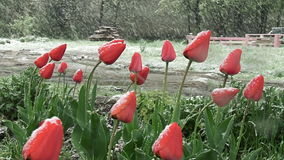 De sneeuw is de lente Natte sneeuwdalingen op de knoppen van rode tulpen stock videobeelden