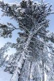 De sneeuw dekte lange pijnboom in het bos van Lapland op een ijzige de winterdag af, het lage hoek schieten Finland, Ruka royalty-vrije stock afbeelding