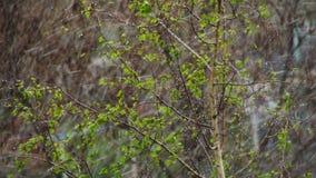 De sneeuw gaat en Sneeuwstormbereik over de Groene Bomen in April, de Noordelijke Cycloon stock footage