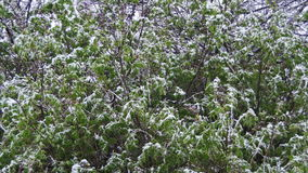 De sneeuw gaat en Sneeuwstormbereik over de Groene Bomen in April, de Noordelijke Cycloon stock video