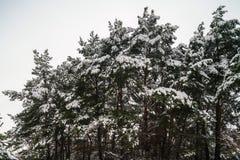 De sneeuw op nette boom vertakt zich in het hout op een grijze en koude winst stock afbeeldingen