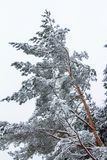 De sneeuw op nette boom vertakt zich in het hout op een grijze en koude winst stock foto