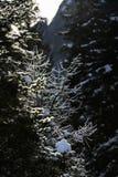 De sneeuw op de pijnbomen royalty-vrije stock afbeeldingen